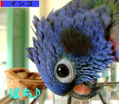 にほんブログ村 鳥ブログ インコへ