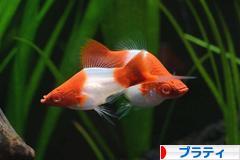 にほんブログ村 観賞魚ブログ プラティへ