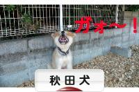 にほんブログ村 犬ブログ 秋田犬へ