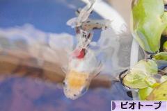 にほんブログ村 観賞魚ブログ ビオトープへ