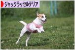 にほんブログ村 犬ブログ ジャックラッセルテリアへ