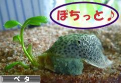 にほんブログ村 観賞魚ブログ ベタへ