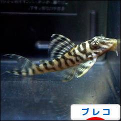 にほんブログ村 観賞魚ブログ プレコへ