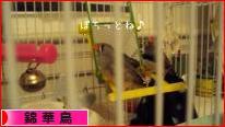 にほんブログ村 鳥ブログ 錦華鳥へ