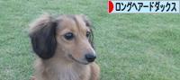 にほんブログ村 犬ブログ ロングヘアードダックスフンドへ