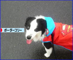 にほんブログ村 犬ブログ ボーダーコリーへ