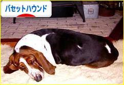 にほんブログ村 犬ブログ バセットハウンドへ