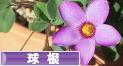 にほんブログ村 花ブログ 球根植物へ