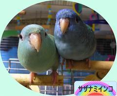 にほんブログ村 鳥ブログ サザナミインコへ