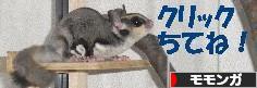 にほんブログ村 小動物ブログ モモンガへ