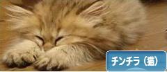 にほんブログ村 猫ブログ チンチラ(猫)へ