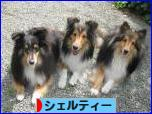 にほんブログ村 犬ブログ シェルティーへ