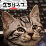 にほんブログ村 猫ブログ 立ち耳スコティッシュフォールドへ
