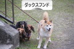 にほんブログ村 犬ブログ ダックスフンドへ