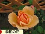 にほんブログ村 花ブログ 季節の花へ