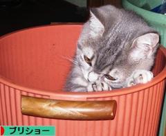 にほんブログ村 猫ブログ ブリティッシュショートヘアへ