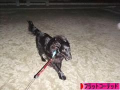 にほんブログ村 犬ブログ フラットコーテッドレトリバーへ