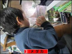 観賞魚ブログ メダカへ