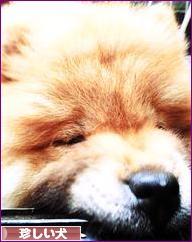 にほんブログ村 犬ブログ その他珍しい犬へ