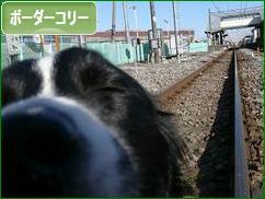 チューしてあげるから、ポチっと押してネ(^з^)-☆Chu!!にほんブログ村 犬ブログ ボーダーコリーへ