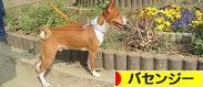 にほんブログ村 犬ブログ バセンジーへ