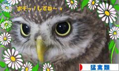 にほんブログ村 鳥ブログ フクロウ・猛禽類へ