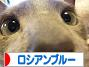 にほんブログ村 猫ブログ ロシアンブルーへ