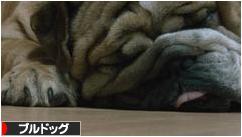 にほんブログ村 犬ブログ ブルドッグへ