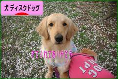 にほんブログ村 犬ブログ ディスクドッグ(ドッグスポーツ)へ