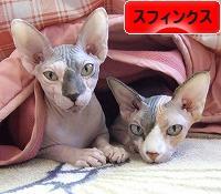にほんブログ村 猫ブログ スフィンクスへ