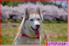 にほんブログ村 犬ブログ シベリアンハスキーへ
