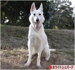 https://dog.blogmura.com/whiteshepherds/img/originalimg/0000217231.jpg