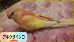 にほんブログ村 鳥ブログ アキクサインコへ