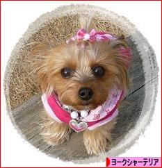 にほんブログ村 犬ブログ ヨーク シャーテリアへ