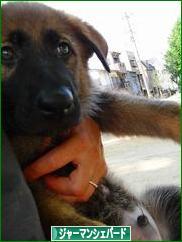 にほんブログ村 犬ブログ ジャーマンシェパードへ