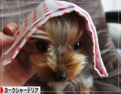 にほんブログ村 犬ブログ ヨークシャーテリアへ
