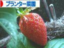 にほんブログ村 花ブログ プランター菜園へ