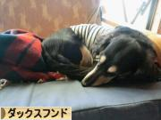 犬ブログ ダックスフンドへ
