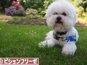 にほんブログ村 犬ブログ ビションフリーゼへ