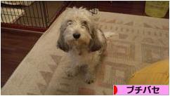にほんブログ村 犬ブログ プチバセへ