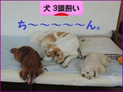 にほんブログ村 犬ブログ 犬 3頭飼いへ