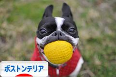 にほんブログ村 犬ブログ ボストンテリアへ