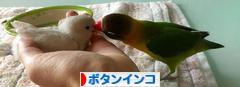 にほんブログ村 鳥ブログ ボタンインコへ