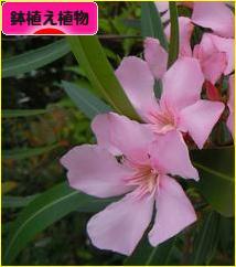 にほんブログ村 花ブログ 鉢植え植物へ