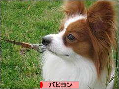 にほんブログ村 犬ブログ パピヨンへ