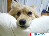 にほんブログ村 犬ブログ ポメヨンへ