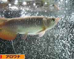 にほんブログ村 観賞魚ブログ アロワナへ