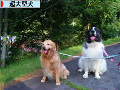 にほんブログ村 犬ブログ 超大型犬へ