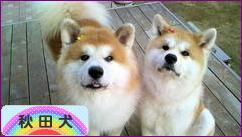 にほんブログ村 犬ブログ 秋田犬へ