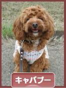 にほんブログ村 犬ブログ キャバプーへ